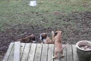 ekullen bulldog 25-4-14 018