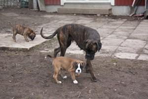 ekullen bulldog 25-4-14 024