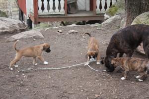ekullen bulldog 25-4-14 051
