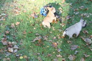 I kullen franskbulldog 002