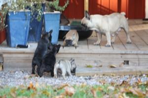 I kullen franskbulldog 009