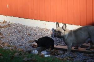 I kullen franskbulldog 016